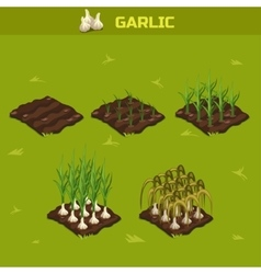 SET 7 Isometric Stage of growth Garlic vector image