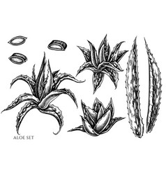 set hand drawn black and white aloe vector image