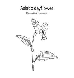 Asiatic dayflower commelina communis medicinal vector