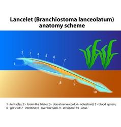 Lancelet vector