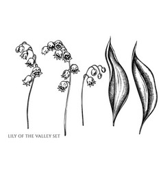 set hand drawn black and white lily of vector image