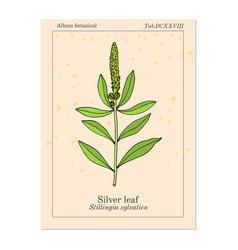 silver leaf stillingia sylvatica or queen s vector image