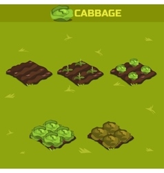 SET 12 Isometric Stage of growth Cabbage vector image vector image