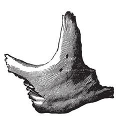 Human malar bone vintage vector