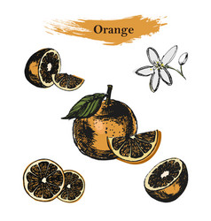 orange sketchvintage ink hand drawn of vector image
