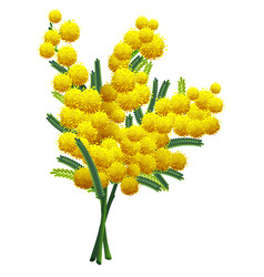 Yellow fluffy mimosa flower branch isolated on vector