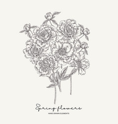 Hand drawn peonies bouquet spring flowers vector