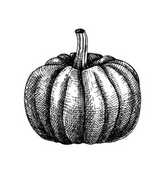 Hand sketched pumpkin butternut squash drawing t vector
