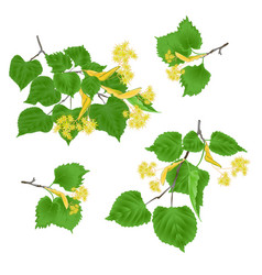 Tilia-linden tvigs with leaves vector