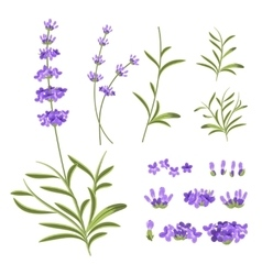 Lavender flowers elements vector