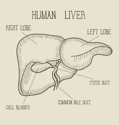 sketch ink human liver hand drawn doodle style vector image