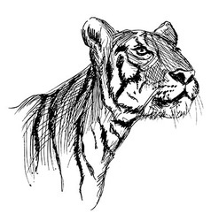 hand sketch a young tiger vector image