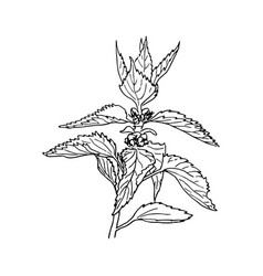 Nettle medical plant with leaves herbal hand vector