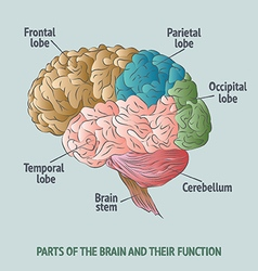 Parts of the human brain vector