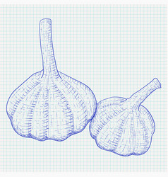garlic hand drawn blue sketch on lined paper vector image