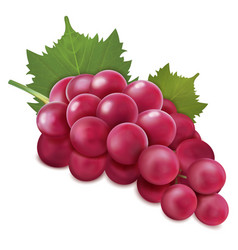 Grapes bunch vector