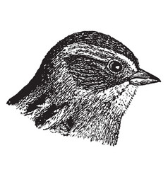 Swamp sparrow vintage vector