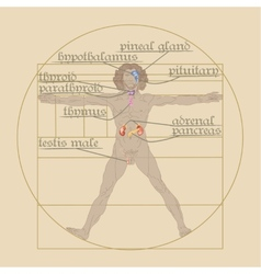 endocrine system on the Vitruvian Man vector image