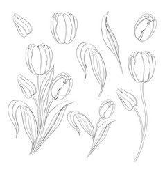 Hand drawn tulips collection in line style contour vector
