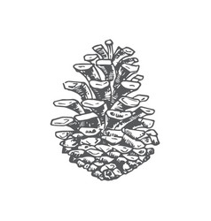 Hand drawn christmas pine strobile vector