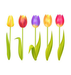 colorful tulips set isolated on white background vector image vector image