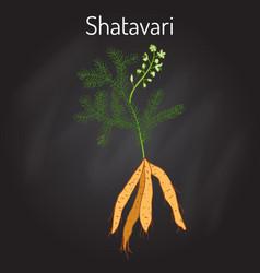 Shatavari asparagus racemosus or shatamull vector