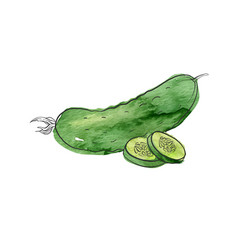 Drawing cucumber vector