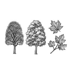 Winter and summer maple trees vector