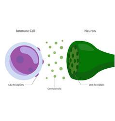 Endocannabinoid between immune cell and neuron vector