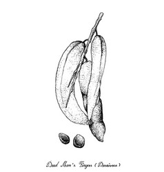 Hand drawn of dead man fingers fruits on tree bunc vector