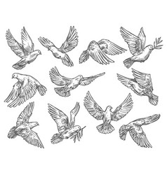 Pigeon flying with olive branch sketch vector