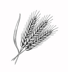 wheat barley spikelets hand drawn vector image