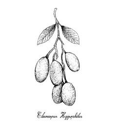 Hand drawn of elaeocarpus hygrophilus on white bac vector