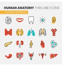 Anatomy Thin Line Icons Set with Body Parts vector image