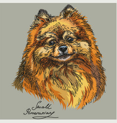 small pomeranian hand drawing in color vector image