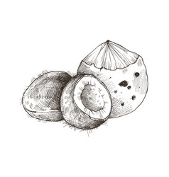 tropical fruit sketch vector image