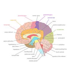 cartoon human brain anatomy in a cut vector image