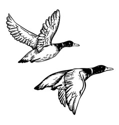 Flying ducks engraving vector