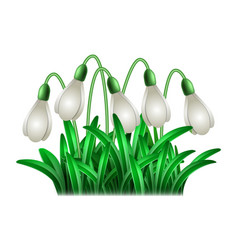 spring white flowers snowdrops vector image