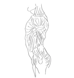 torso muscles lateral vector image vector image