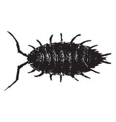 Sow bug vintage vector