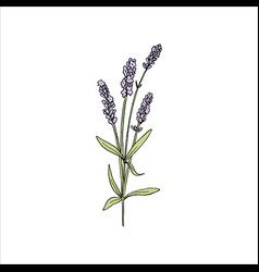 lavender flowers colored sketch style steem and vector image