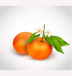 Two citrus fruits mandarin or tangerine on branch vector