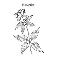 Manjistha rubia cordifolia medicinal plant vector