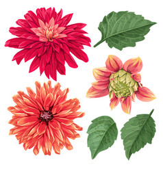 Red asters flowers set tropical floral elements vector