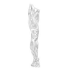 leg muscles front vector image vector image