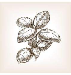Basil hand drawn sketch style vector image vector image