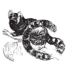 Marmoset vintage vector