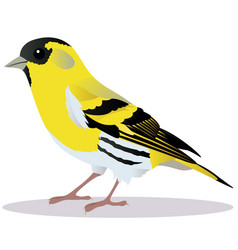 siskin bird vector image