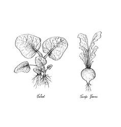 Hand drawn of tatsoi and turnip greens vector